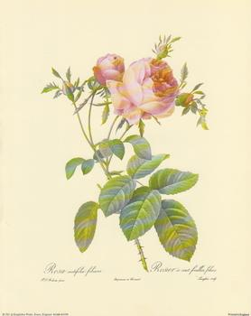 Redoute Rose A6 Main Gallery P J Redoute