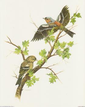 Garden Birds B - by J A Pulford - 10