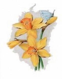 Daffodil C1 Main Gallery Stephen Darwin