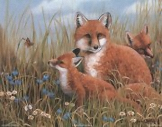 Foxes B8 Main Gallery Mark Chester