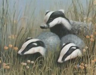 Badgers B1 Main Gallery Mark Chester