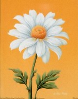 White Daisy B9 Main Gallery Rob Pohl