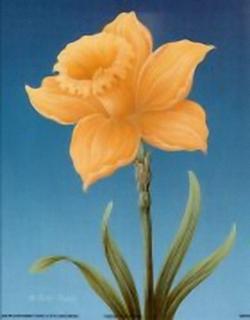 Daffodil B3 Main Gallery Rob Pohl