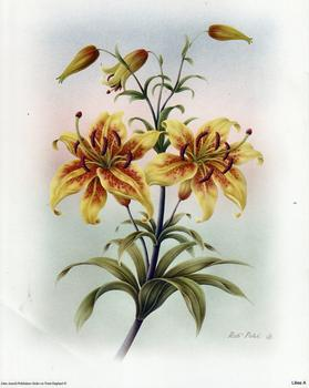 Lilies A - by Rob Pohl - 10