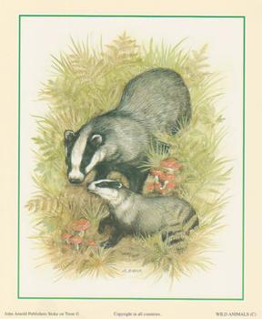 Badger - Wild Animal C - by S Bews - 5