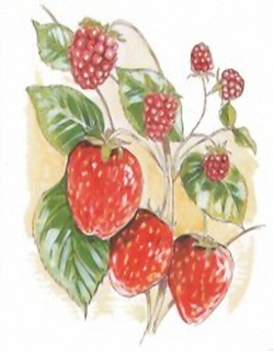 Raspberries & Strawberries D1 Main Gallery Not Known