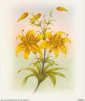 Lilies A - by Rob Pohl - 5