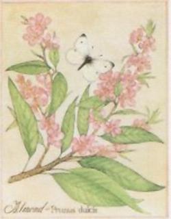 Almond - Prunus Dulcis J6 Main Gallery Not Known