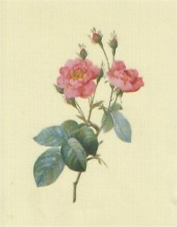 Redoute Rose K9 Main Gallery P J Redoute