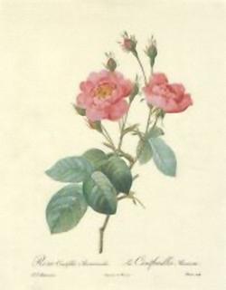 Rosa Centifolia K3 Main Gallery Victor Sculp