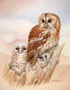 Tawny Owl John Ball