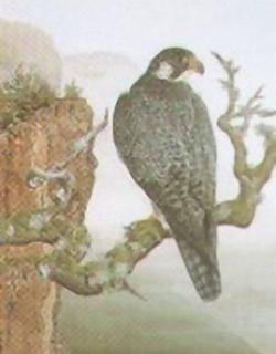 Peregrine Falcon E4 Main Gallery James Aynsley