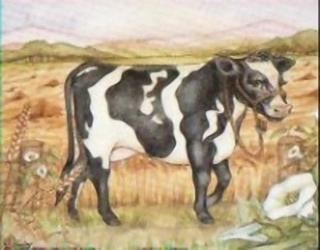 Friesian Cow K7 Main Gallery Not Known