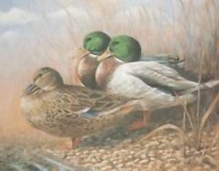 Ducks Trio K6 Main Gallery Mark Chester