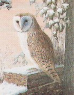 Barn Owl E5 Main Gallery Mark Chester