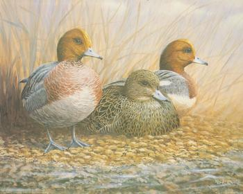 Wigeon Trio Ducks 10