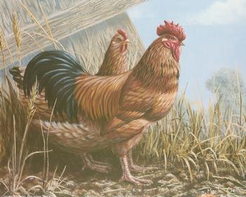 Buff Sussex Cockerels 10