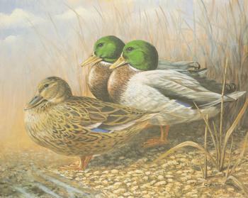 Mallard Duck Trio 10