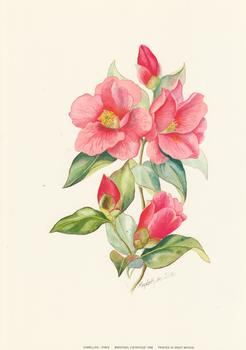 Camellias - PINKS by Elizabeth de Lisle ** Print Size 8