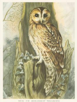 TAWNY OWL - Print CP1081 - by Elizabeth de Lisle - Print Size 6.2