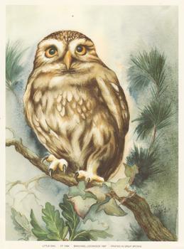 LITTLE OWL - Print CP1084 - by Elizabeth de Lisle - Print Size 6.2