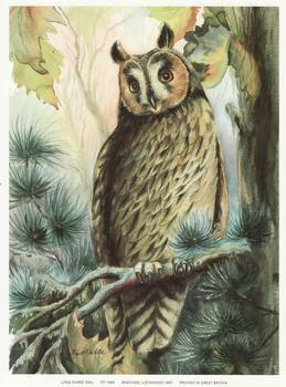 LONG EARED OWL - Print CP1083 - by Elizabeth de Lisle - Print Size 6.2