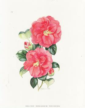 CAMELLIA - PEACHES Print by Michael Lockwood - 8