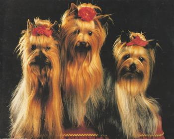 Pack of 5 x Yorkshire Terriers Looking Very Cute with Hair Accessories www.papertole.co.uk