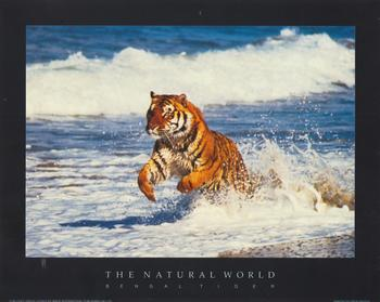 BENGAL TIGER -  Print from the Natural World - 10