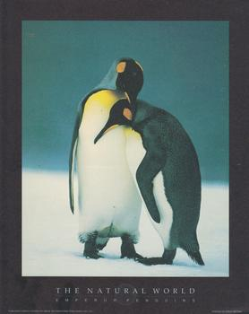 EMPEROR PENGUINS -  Print from the Natural World - 10