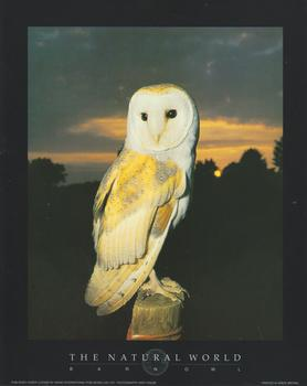 BARN OWL - Print from the Natural World - 10