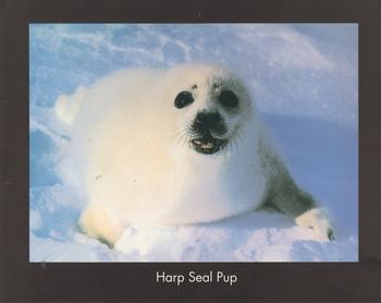 HARP SEAL PUP - Print from the Natural World - 10