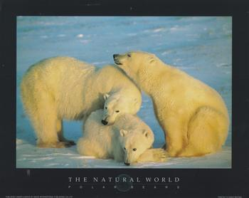 POLAR BEARS -  Print from the Natural World - 10