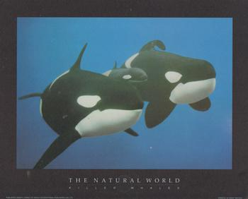 KILLER WHALES - Print from the Natural World - 10