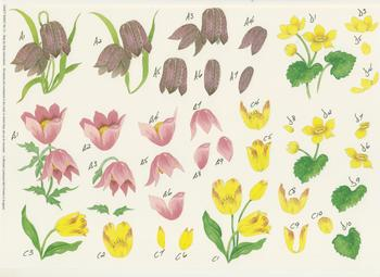 Crocuses - A4 Step by Step . *