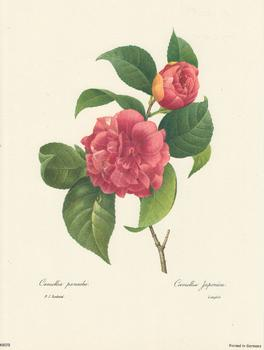Redoute Camellia Japonica P J Redoute