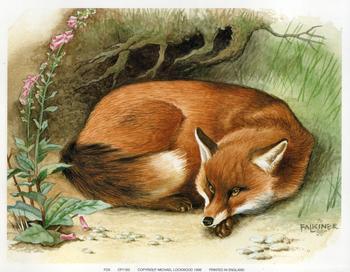 Fox - 9