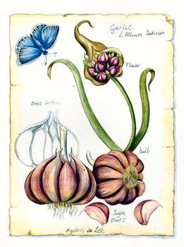 Garlic *
