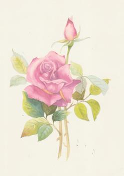 Paradise Rose 6